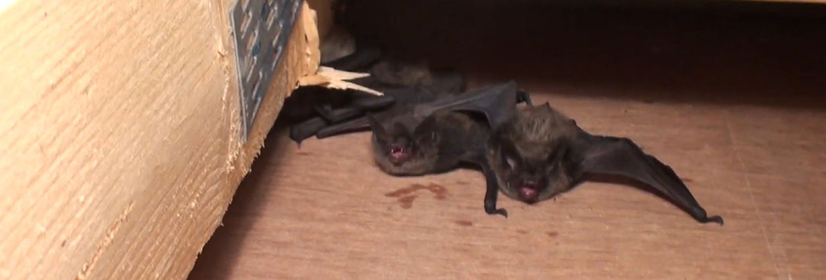What Do Bats Eat When They Live in My Attic?